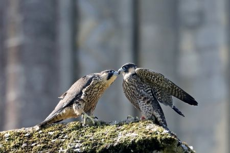 Juvenile male and female peregrines, 11 June 2018